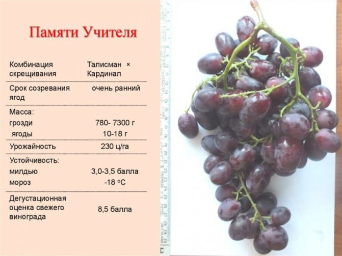 """Подробное описание сорта винограда """"памяти учителя"""""""