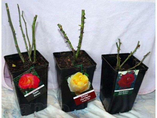 Как сохранить черенки роз до весны: для посадки, при какой температуре хранить в домашних условиях