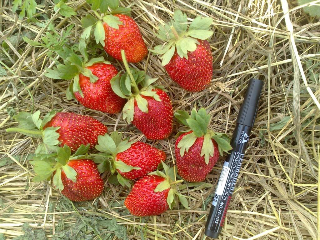 Клубника онда — описание сорта, фото, отзывы садоводов