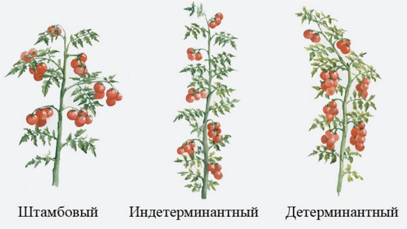 Характеристика и описание сорта томата палка