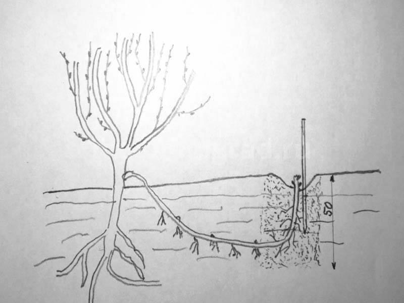 Как размножить виноград - лучшие способы и методы размножения в домашних условиях (150 фото и видео)