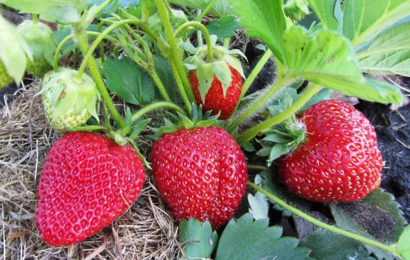 Клубника богема: отзывы, фото, описание позднего сорта, особенности выращивания, посадка и уход, урожайность, морозоустойчивость