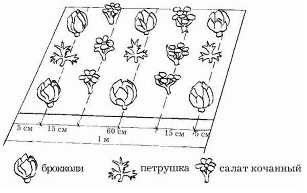 Как посадить цветную капусту в открытый грунт: сроки и схемы посева на рассаду