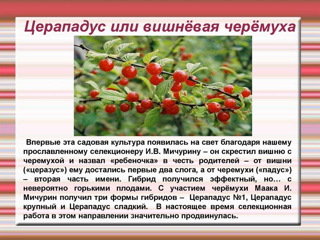 Как посадить на даче черемуху или церападус – советы «зеленой грядки»