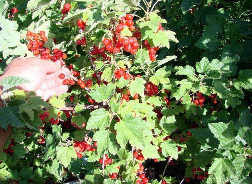 Смородина мармеладница: описание сорта и его фото, особенности и характеристики selo.guru — интернет портал о сельском хозяйстве