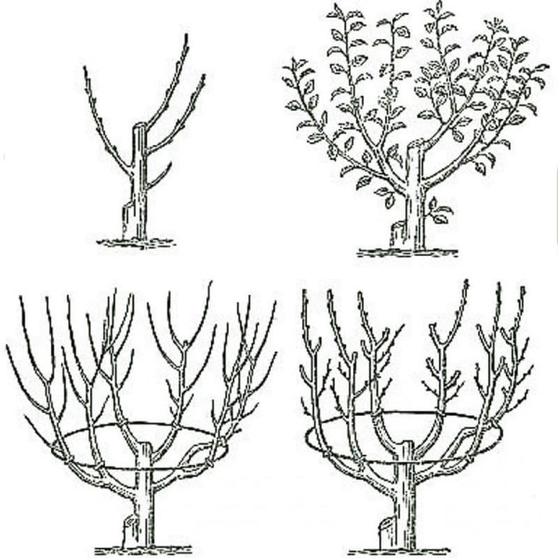 Как растет грецкий орех, схема посадки, выбор саженца, обрезка и др. советы