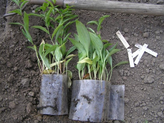 Размножение лилий чешуйками, детками, черенками после цветения и семенами