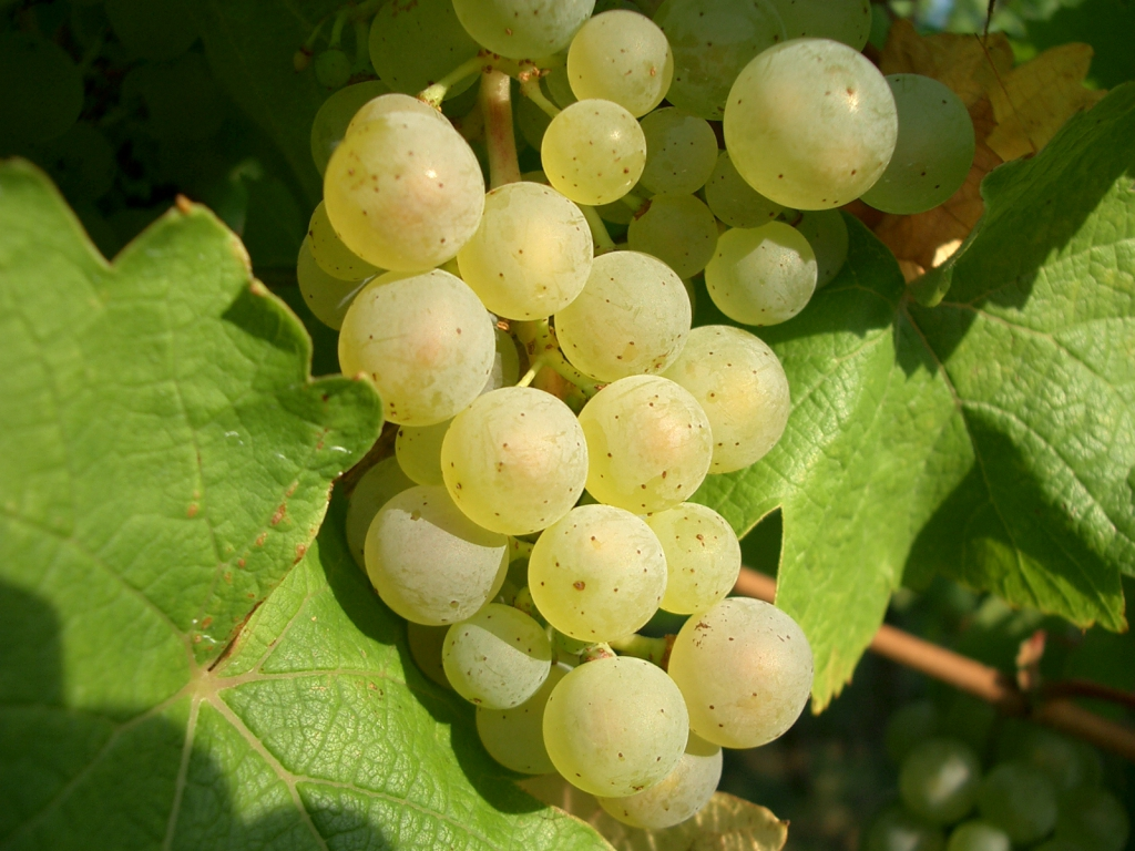Виноград рилайнс пинк сидлис: описание и характеристики сорта, особенности ухода и фото