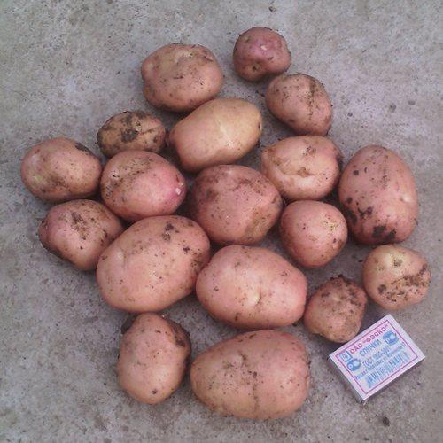 ᐉ сорт картофеля «рябинушка» – описание и фото - roza-zanoza.ru