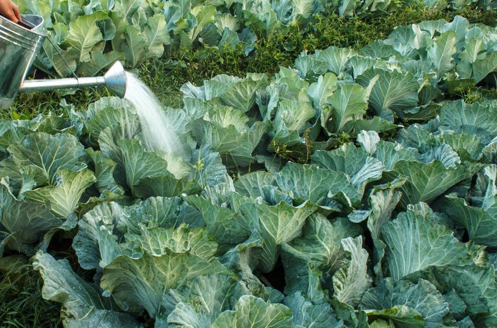 Как поливать капусту в открытом грунте и чем