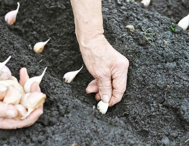 Когда убирать чеснок, посаженный под зиму в 2020 году по лунному календарю благоприятные дни