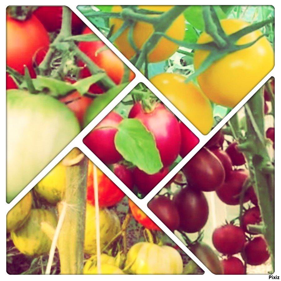 Засолочные сорта помидоров | вырасти сад!