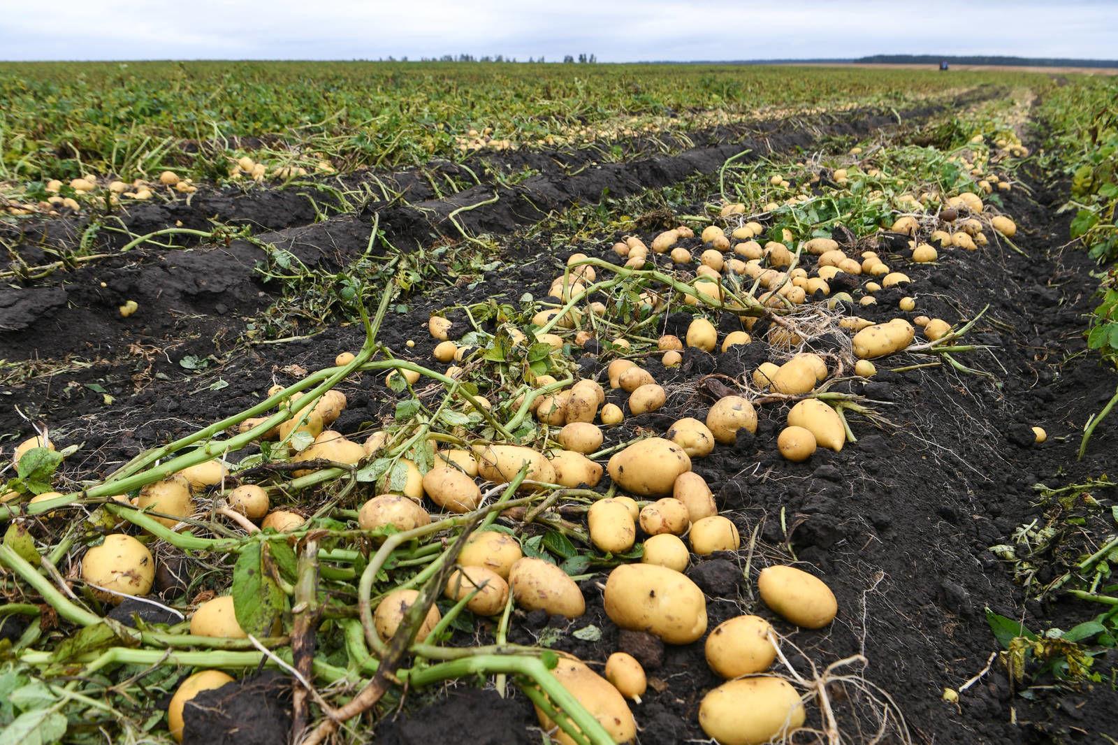 Как вырастить картофель в дождливое лето