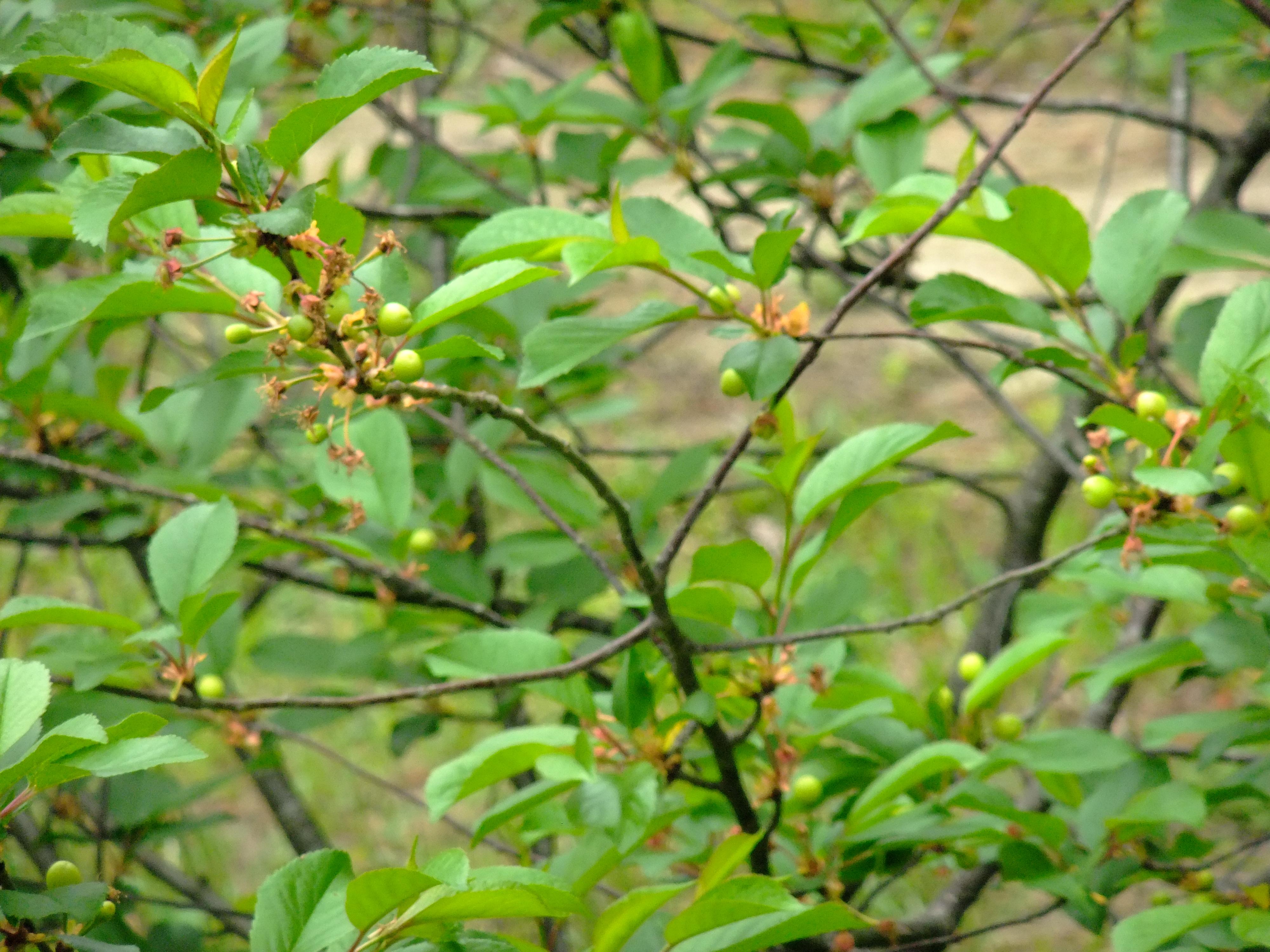Что делать, если не плодоносит вишня? почему вишня цветет, но не плодоносит — ботаничка.ru