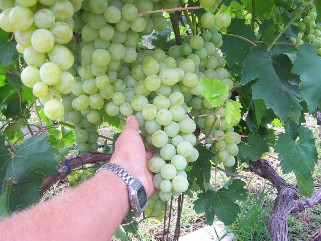 Виноград неретинский: селекция, описание, посадка и уход, достоинства, отзывы