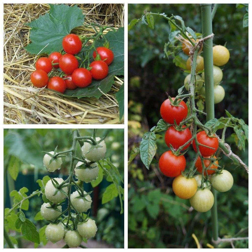 Лучшие сорта томатов черри для теплицы и открытого грунта: топ-25 с фото, описаниями и характеристиками