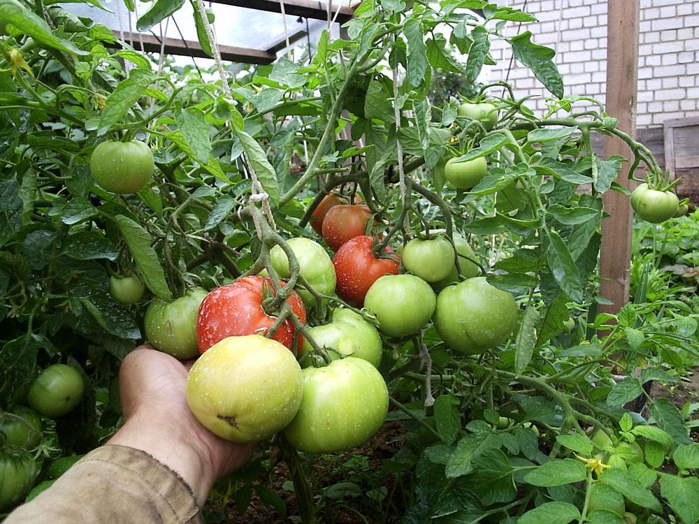 Томат яблоки на снегу: характеристика и описание сорта, урожайность с фото