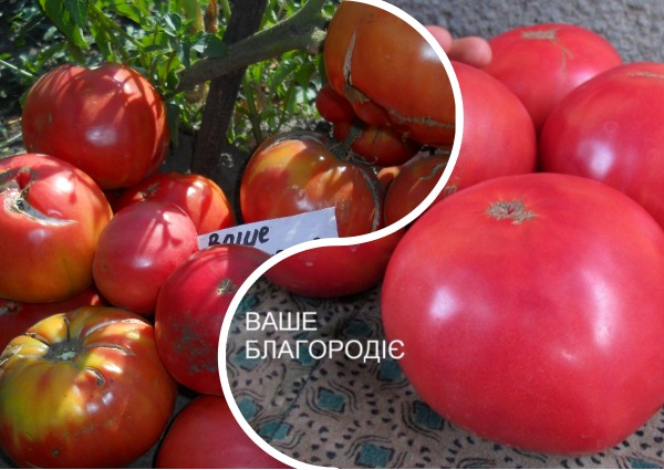 Томат ваше благородие - описание сорта гибрида, характеристика, урожайность, отзывы, фото