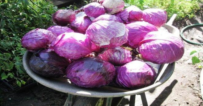 Краснокочанная капуста: как называется овощ фиолетового цвета, когда сажать, а также польза и вред для здоровья, выращивание рассадой и в открытом грунте, уход