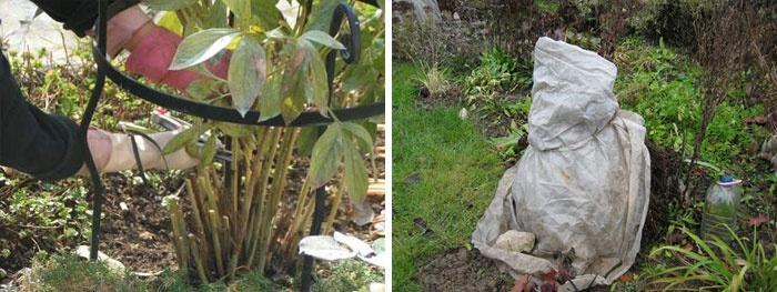 Уход за пионами осенью: подготовка к зиме, обрезка, подкормка, укрытие, пересадка