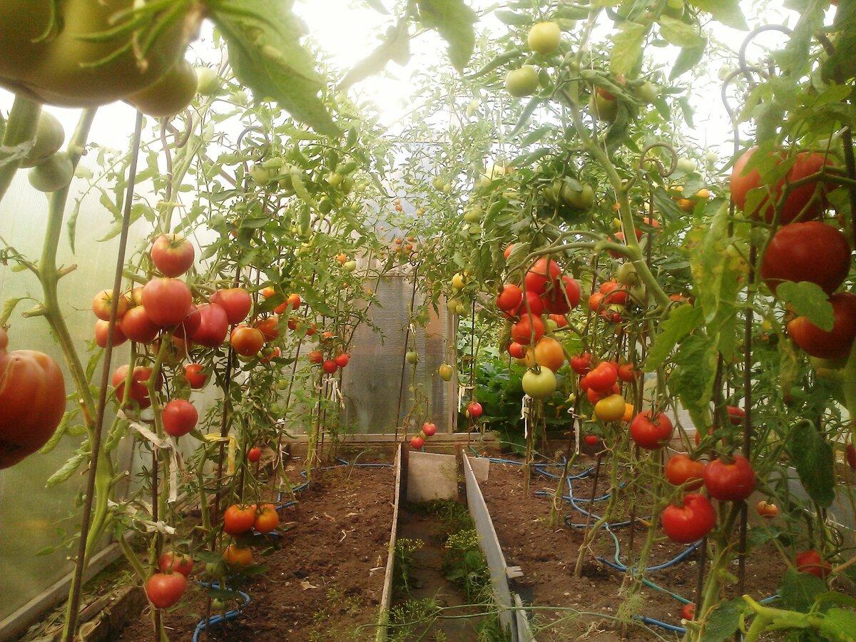 Помидоры в теплице - выращивание: посадка и уход