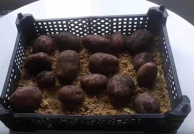 Как правильно проращивать картофель перед посадкой в домашних условиях