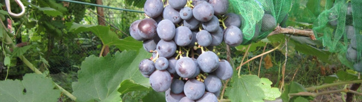 Виноград рошфор: описание сорта, видео, топ секреты выращивания