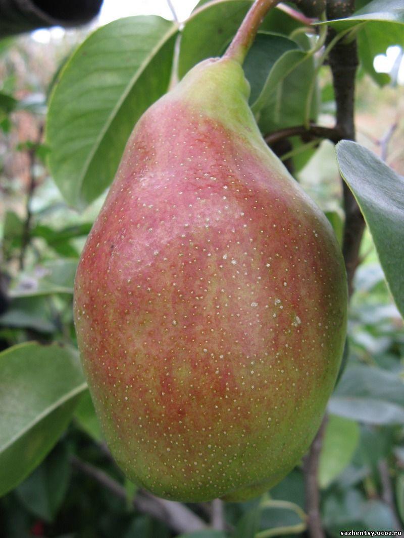 ✅ о груше чудесница: описание сорта, агротехника выращивания, особенности ухода - tehnomir32.ru