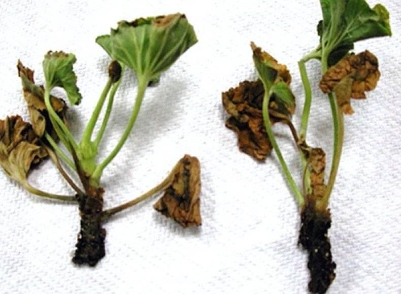 Черная ножка у капусты: как бороться и что делать для лечения