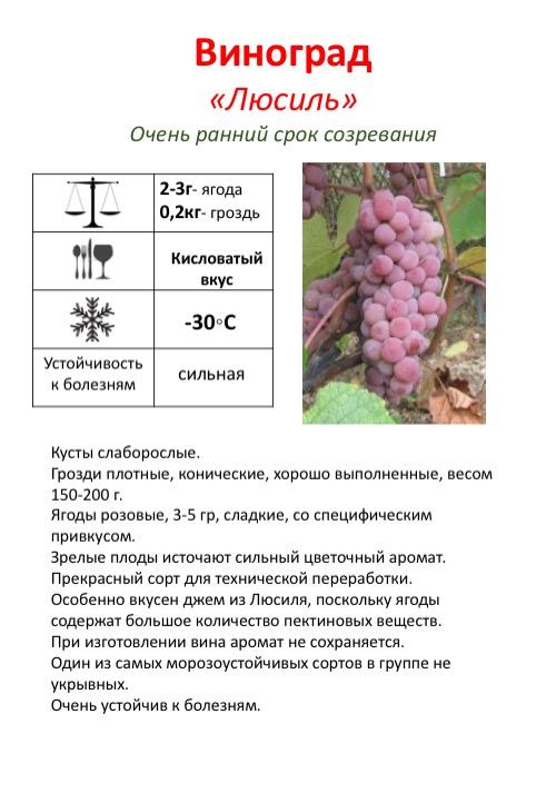 Виноград викинг - описание сорта с фото и видео