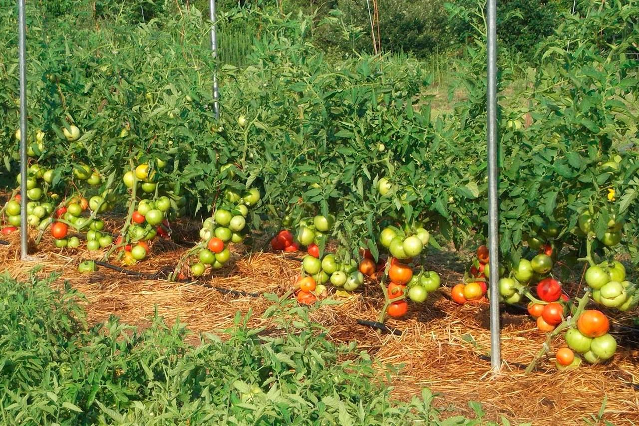 Томаты сибирский сад: каталог с описанием