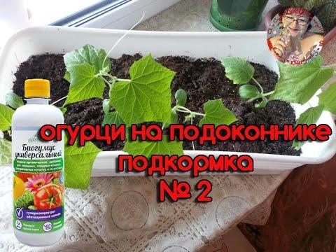 Чем подкормить рассаду огурцов, чтобы были толстенькие стебли видео