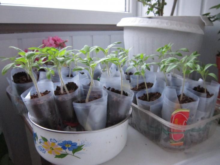 Рассада томатов в пеленках: видео, выращивание