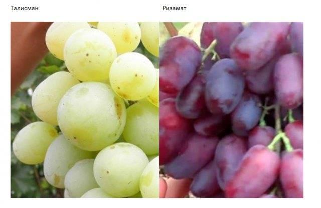 Виноград сенсация - описание, отзывы, фото, видео