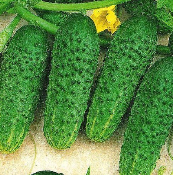 Огурец бабушкин секрет f1: отзывы и фотографии, описание сорта, урожайность и устойчивость