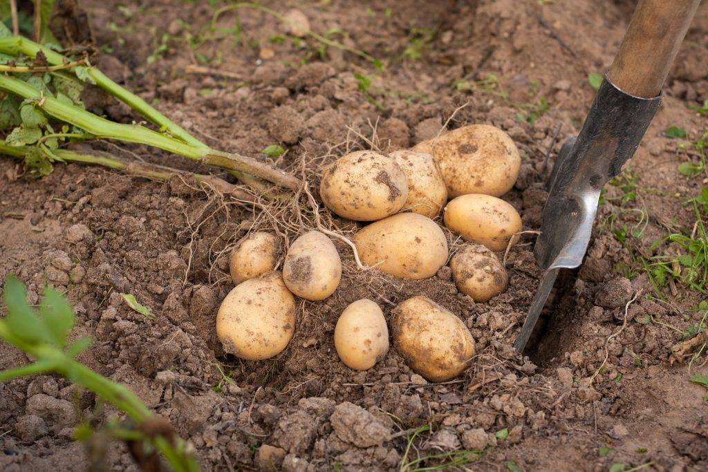 Картофель «гала»: описание сорта, особенности выращивания, его характеристики, фото