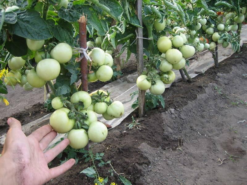 Штамбовые томаты – что это такое, сорта для теплиц и открытого грунта, проверенные, без пасынкования