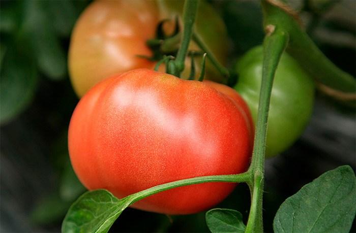 Описание сорта томата Президент, особенности выращивания и ухода