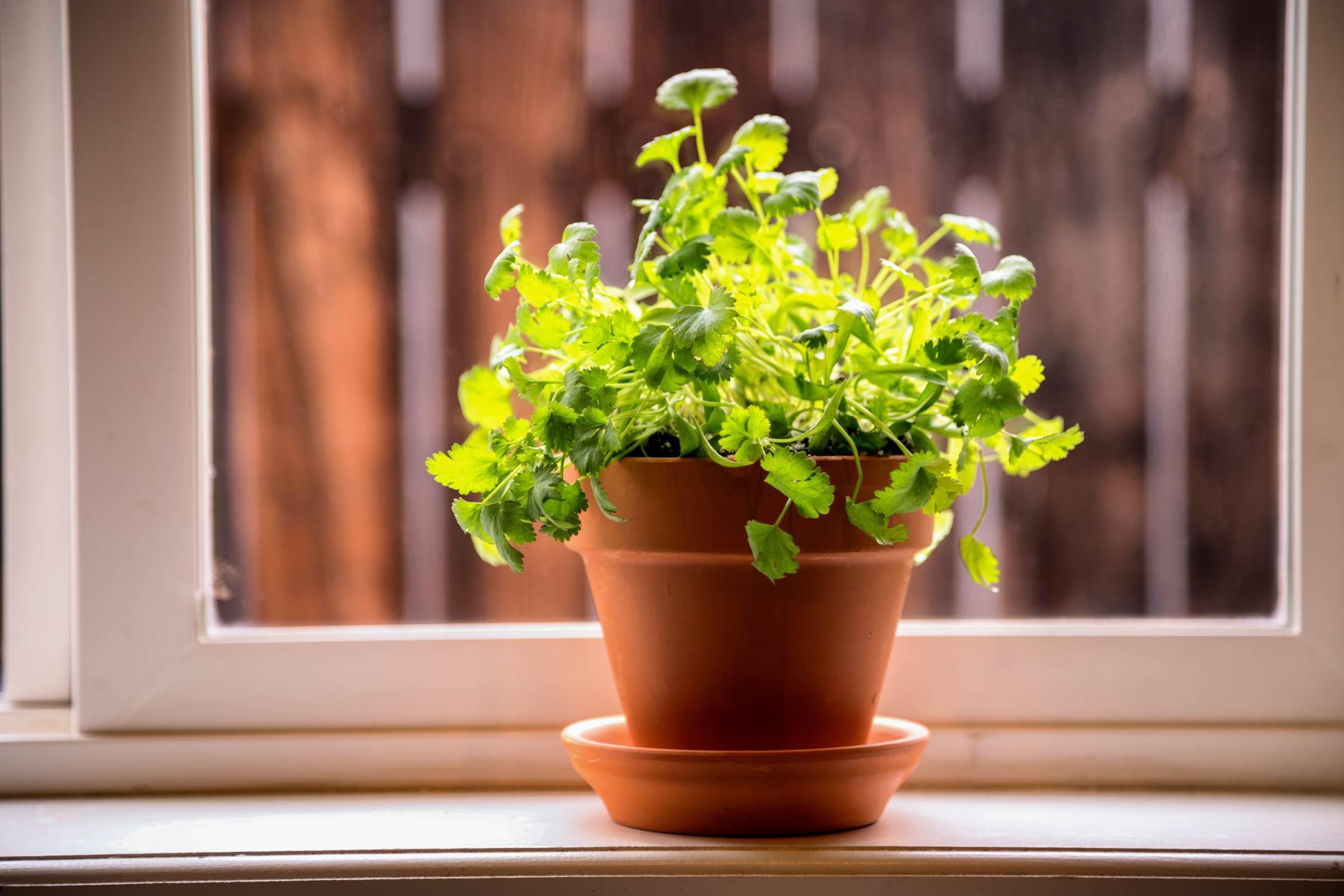 Любисток: выращивание и уход, как сажать и вырастить из семян (в открытом грунте, в горшке в домашних условиях и на рассаду), подкормка, сбор урожая