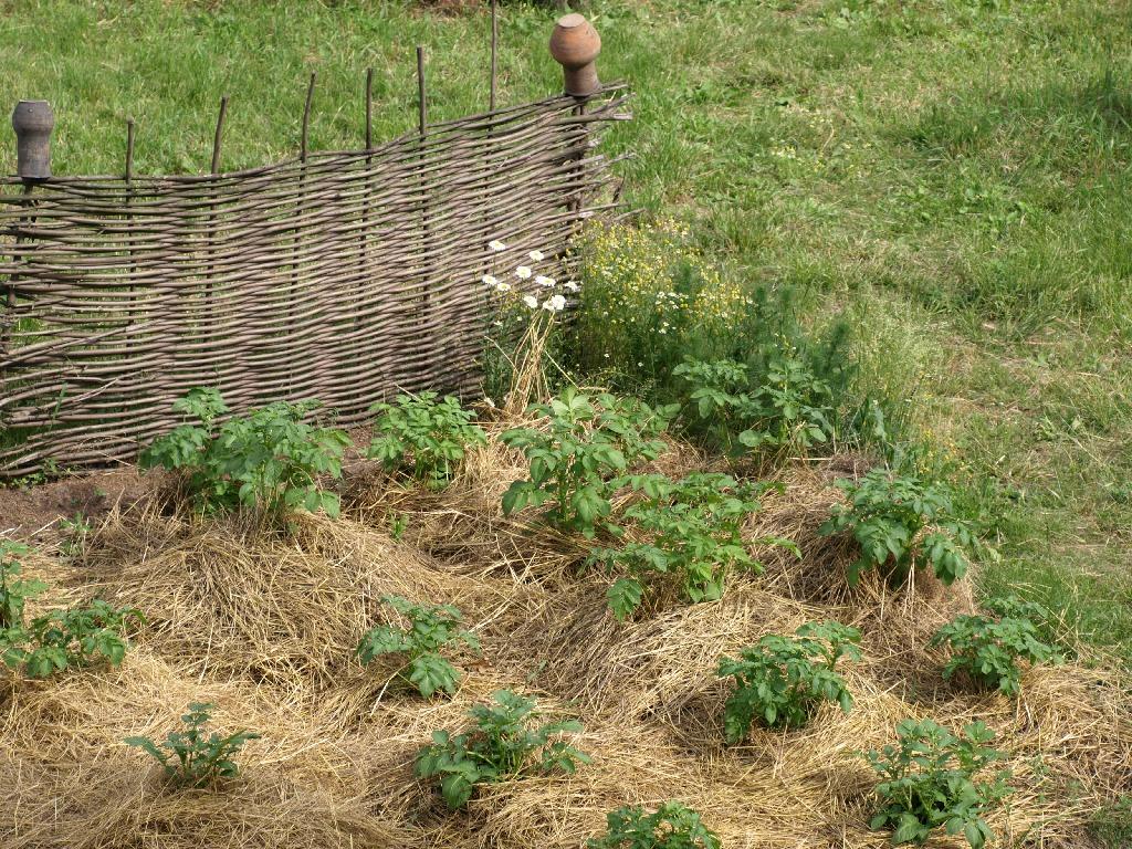 Мульчирование картофеля: что это, способы, посадка под мульчу