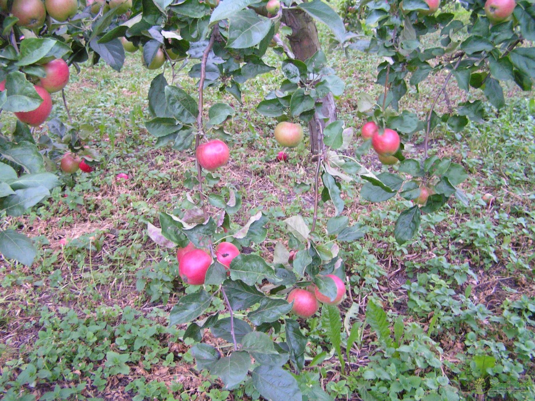 Описание сорта яблони малиновка: фото яблок, важные характеристики, урожайность с дерева
