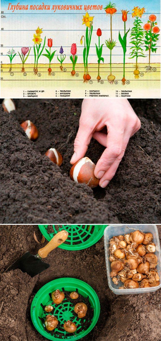Выращивание тюльпанов: когда сажать осенью в открытый грунт, уход, правила хранения