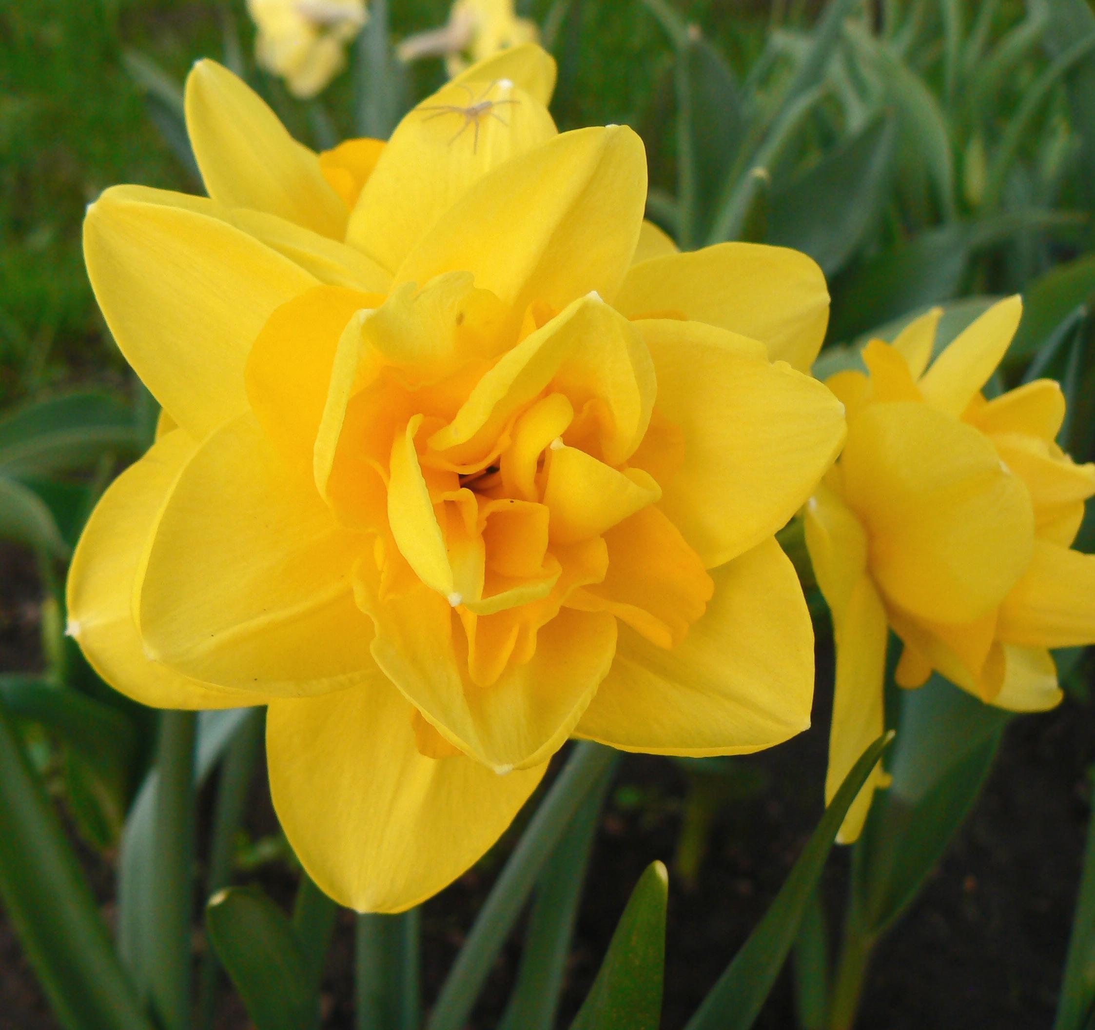 Нарцисс калгари: описание сорта и характеристики, правила посадки и ухода