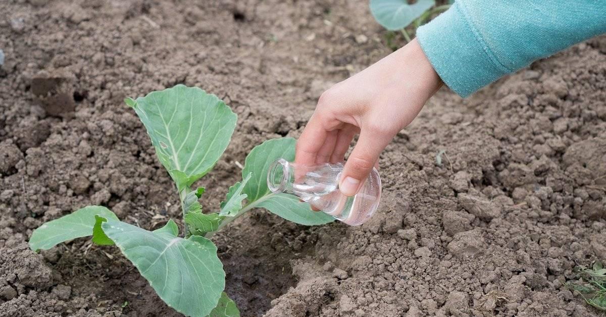 Как часто и как правильно нужно поливать капусту в открытом грунте