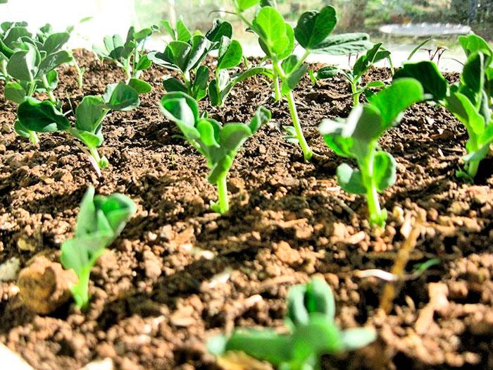 Горох: посадка и уход в открытом грунте, выращивание из семян