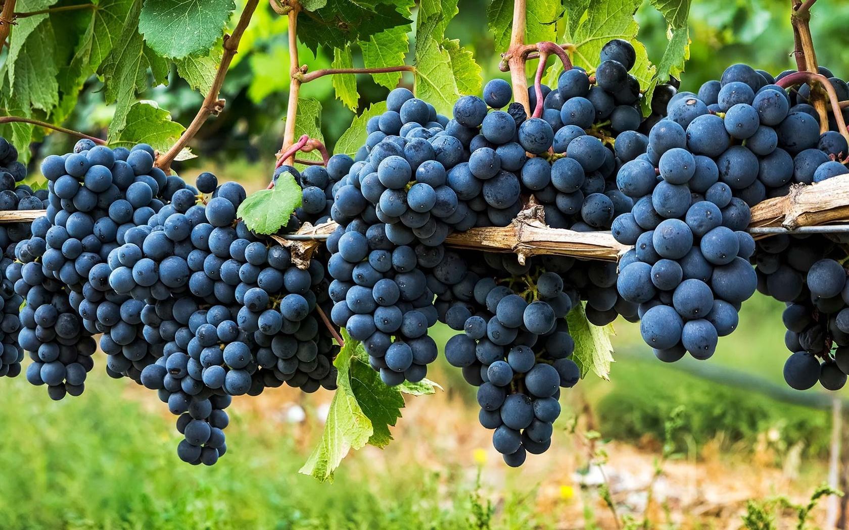 Виноград саперави северный: описание сорта, характеристики и фото selo.guru — интернет портал о сельском хозяйстве