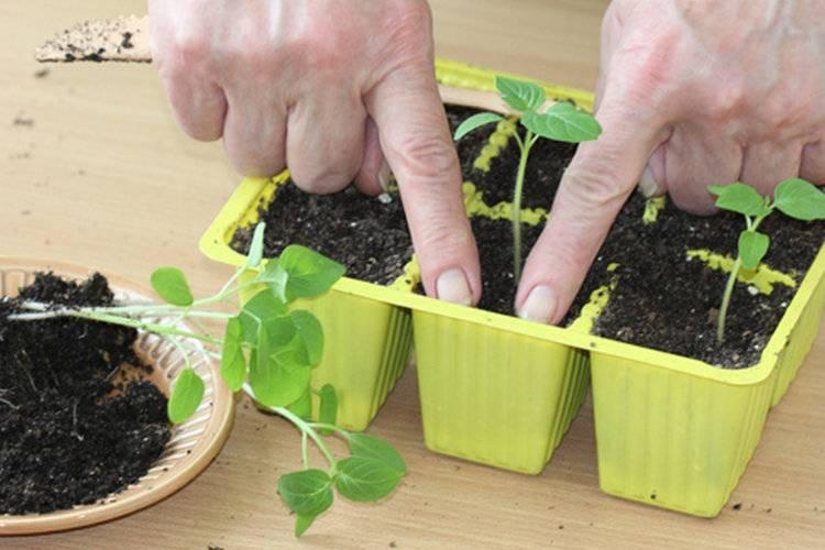 Как вырастить физалис в домашних условиях из семян и ухаживать за культурой