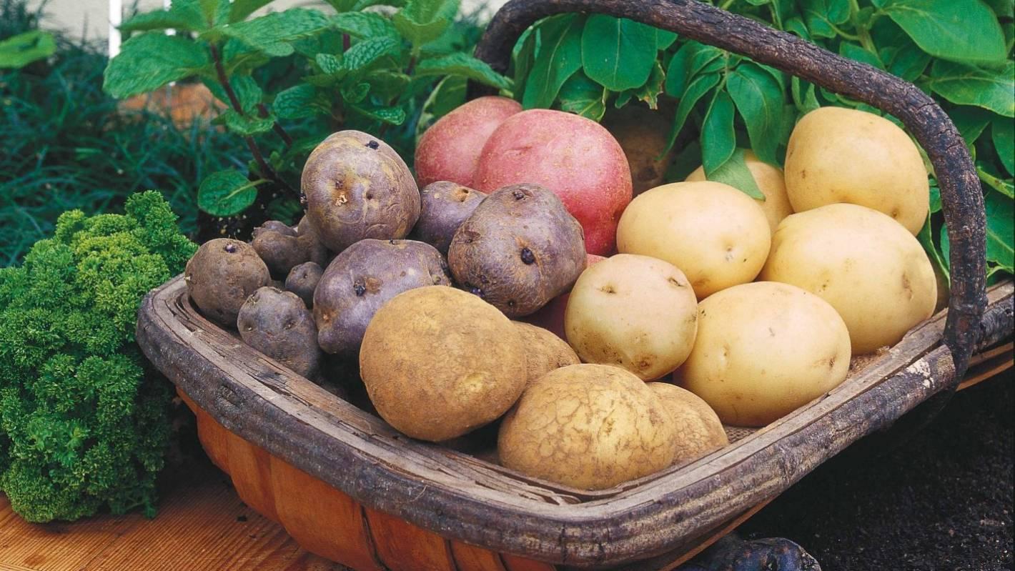 Картофель жуковский ранний: отзывы, фото, описание и характеристика сорта, урожайность