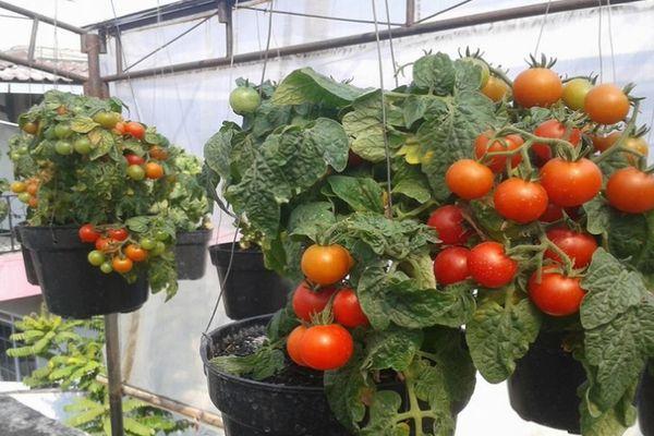 Томат пинк роуз f1: отзывы и фото куста, описание помидоров и характеристика