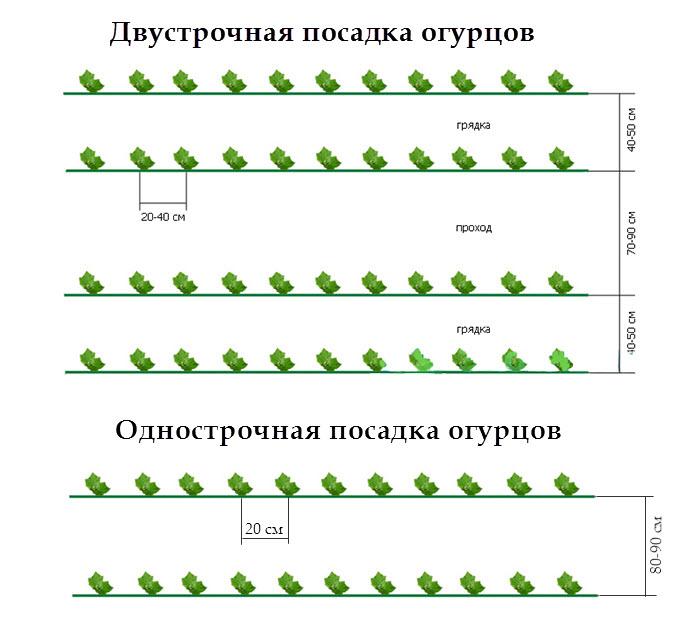 Расстояние при посадке огурцов в теплице: советы, видео и фото